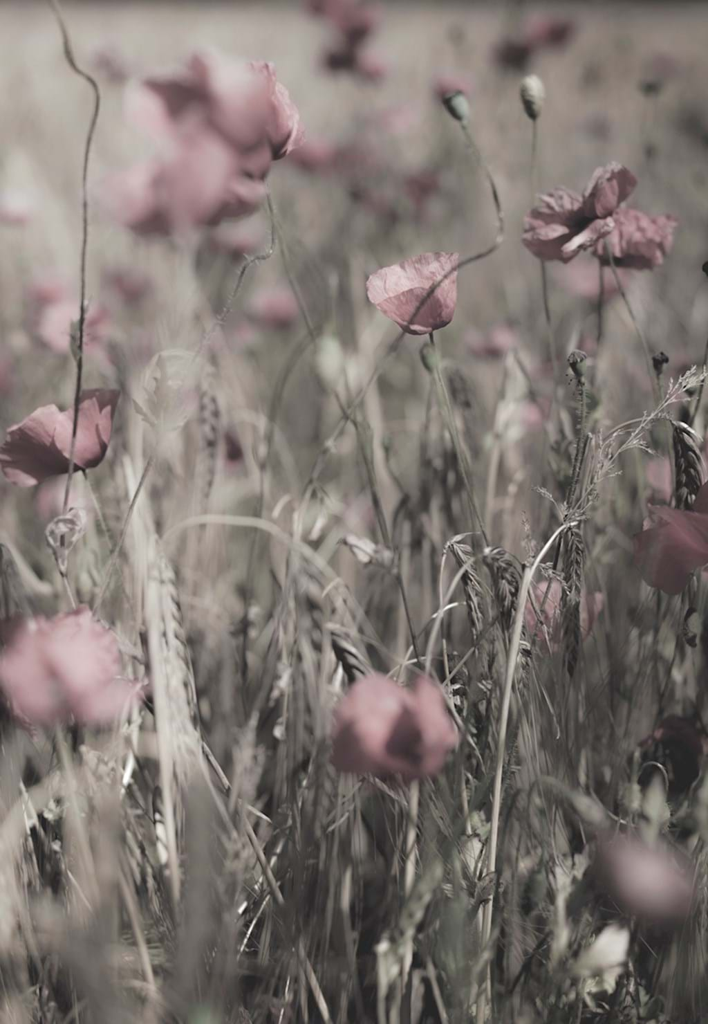 Poster: dusty pink - Nothing says Swedish summer like a field of poppies. Here perfectly capture...