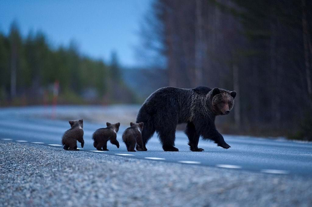 Poster: Female Brown bear with cubs - Animal & Insects
