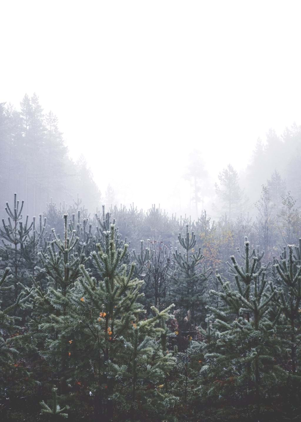 Poster: In Hiding - Beautiful trees  and fog are the things in this picture. Muted colours of g...