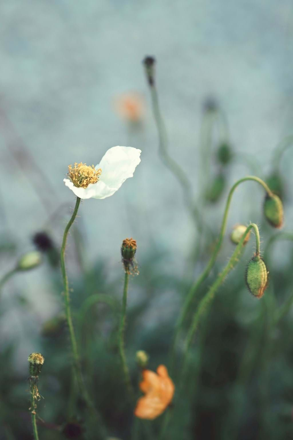 Poster: Poppy Love - This is a beautiful picture of flowers with muted colours that would fit gr...