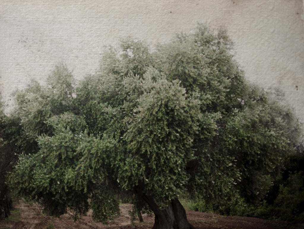 Poster: the old olive tree - Digital