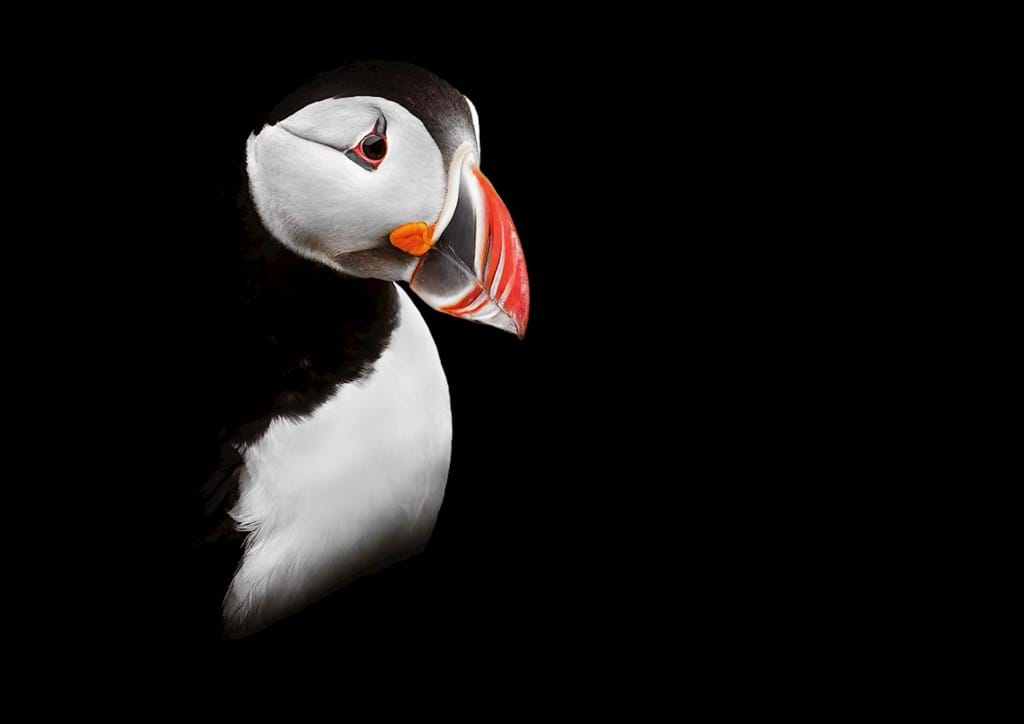 Poster: The Puffin - Digital