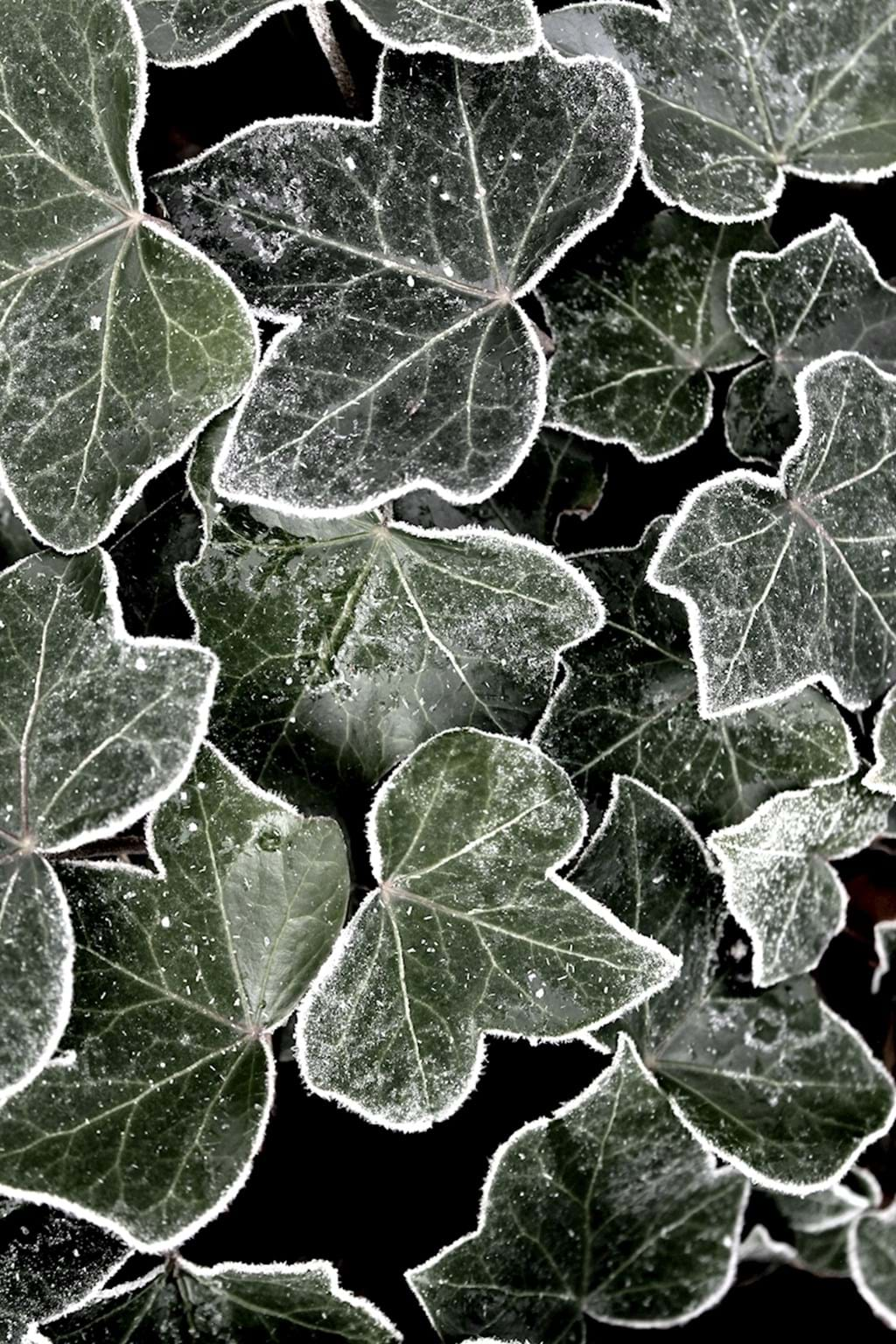 Poster: Ivy with lace - A sign of autumn, frost. This picture of ivy with frosted edges och darker ...