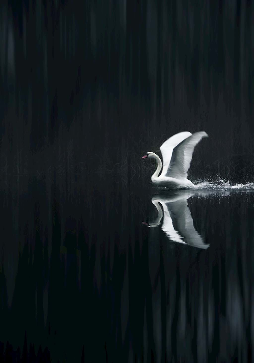 Poster: Take off - This piece is almost black and white, except for the orange beak af the swa...
