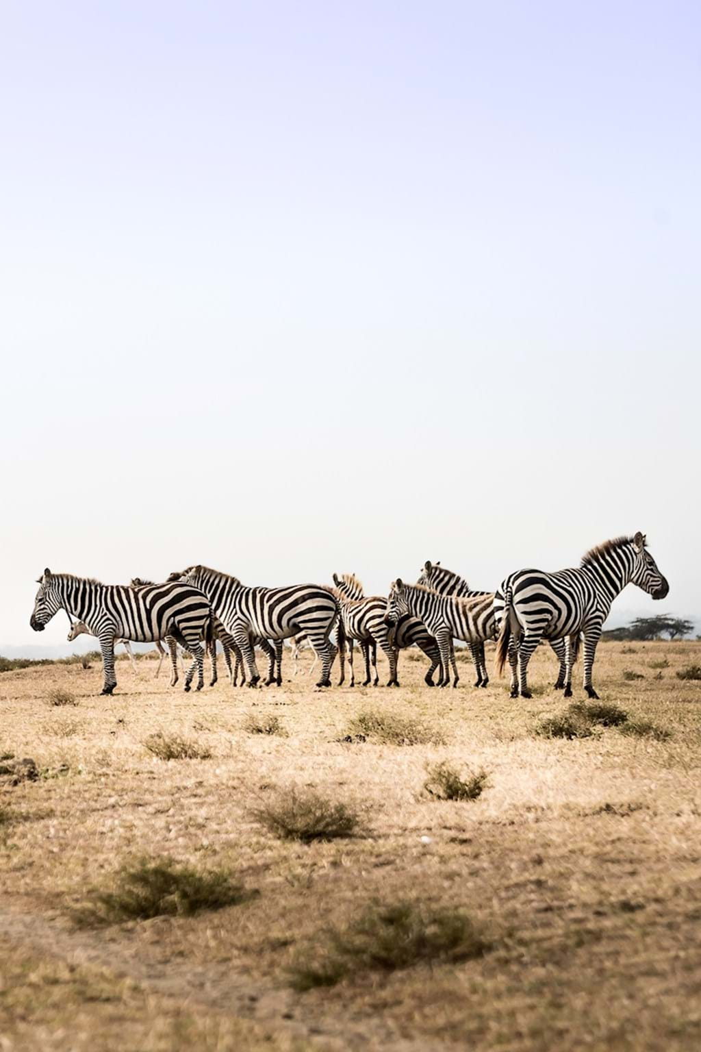 Poster: Barcoded zebras - Animal & Insects