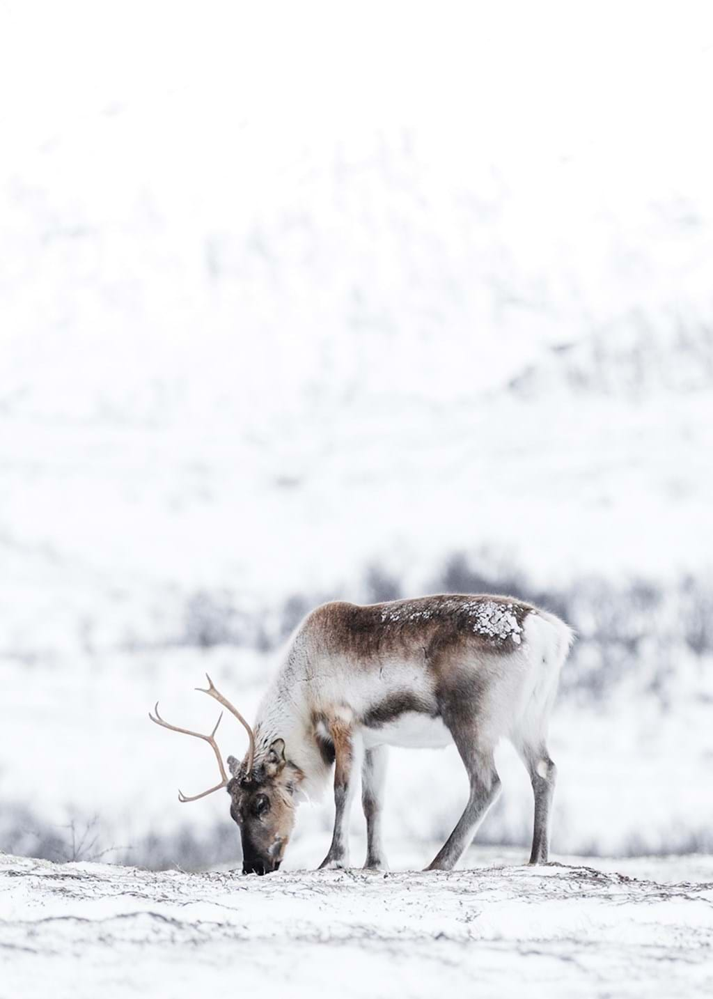 Poster: Life In The Mountains - This amazing picture of a reindeer in the mountain is almost mesmerizing, w...