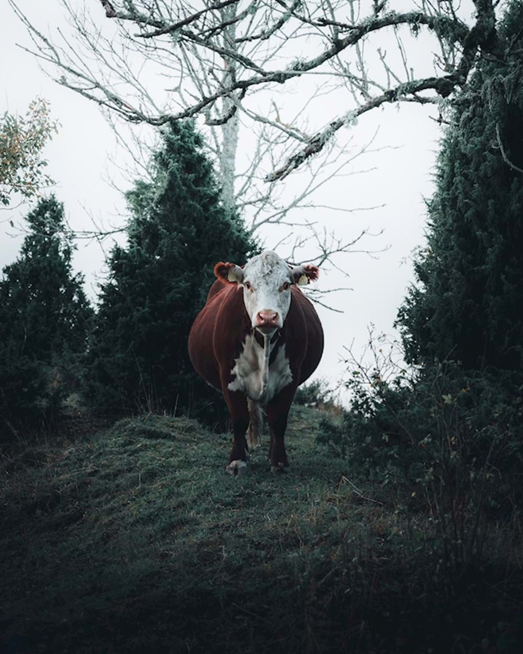 Poster: Once I met a cow.. - Digital