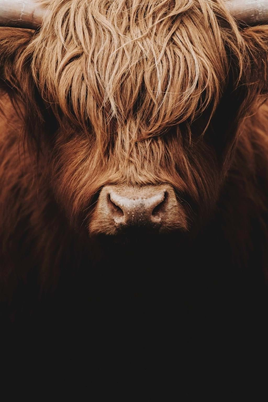Poster: Like a Boss - This is a very artistic beautiful portrait of a highland cattle. The fur i ...