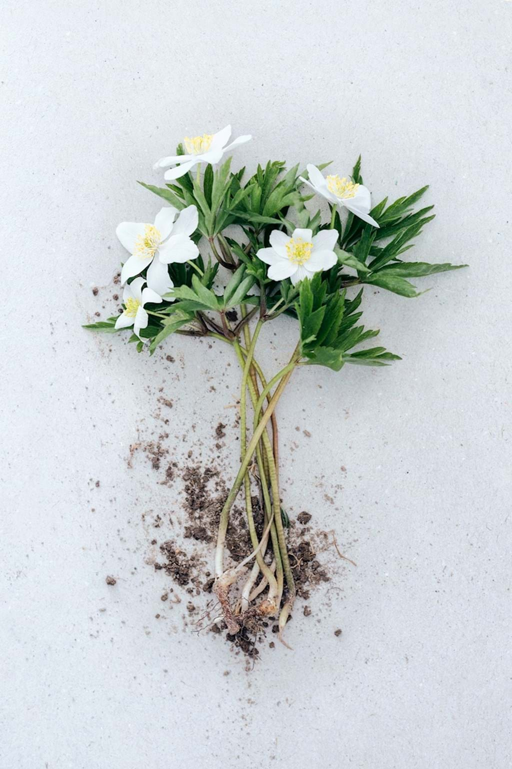 Poster: Wood Anemones - In centuries we've been decorating our homes with flowers and plants. Livin...
