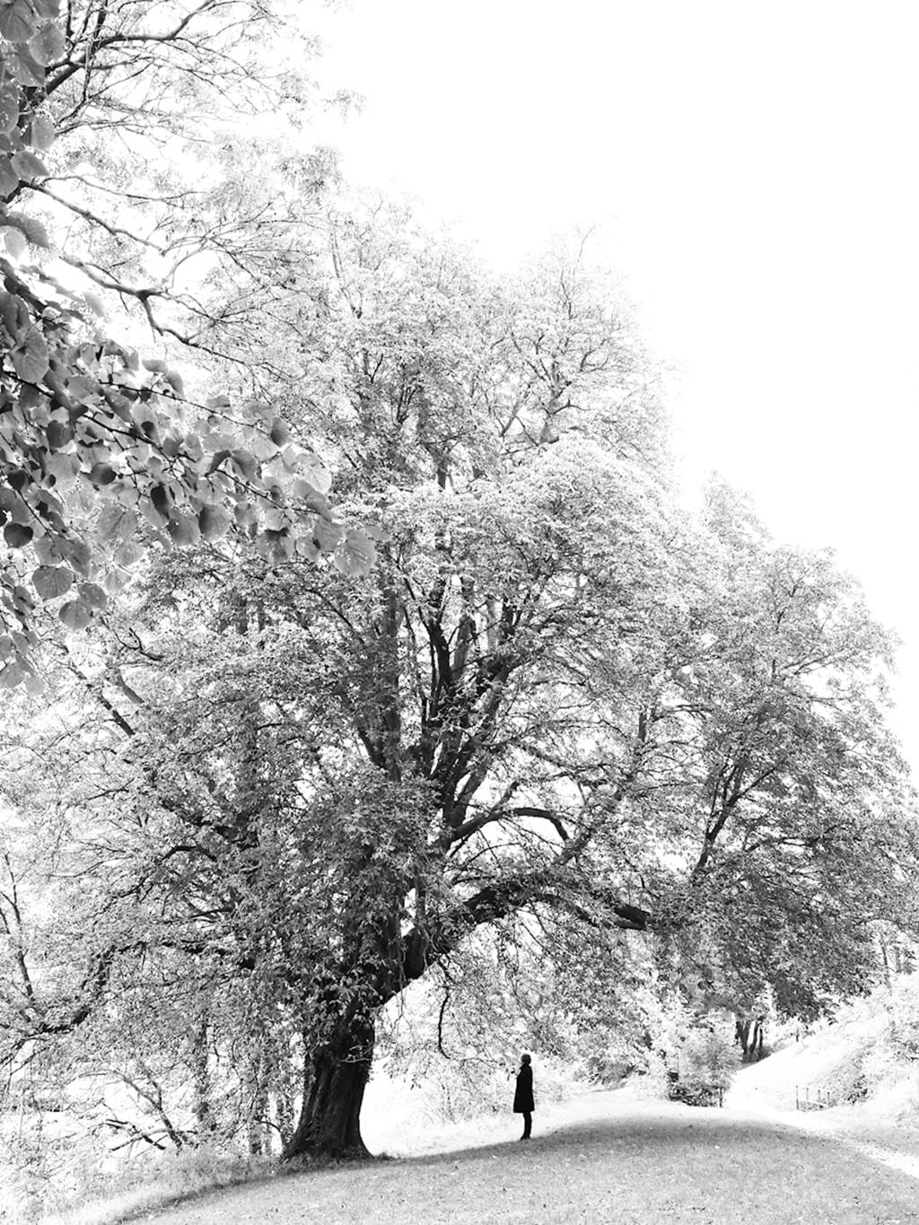 Poster: The tree of life - A black and white poster of a tall, large, old oak tree with a silhuett of ...