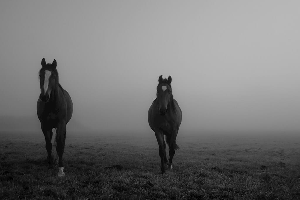 Poster: Horses in the mist - Animal & Insects