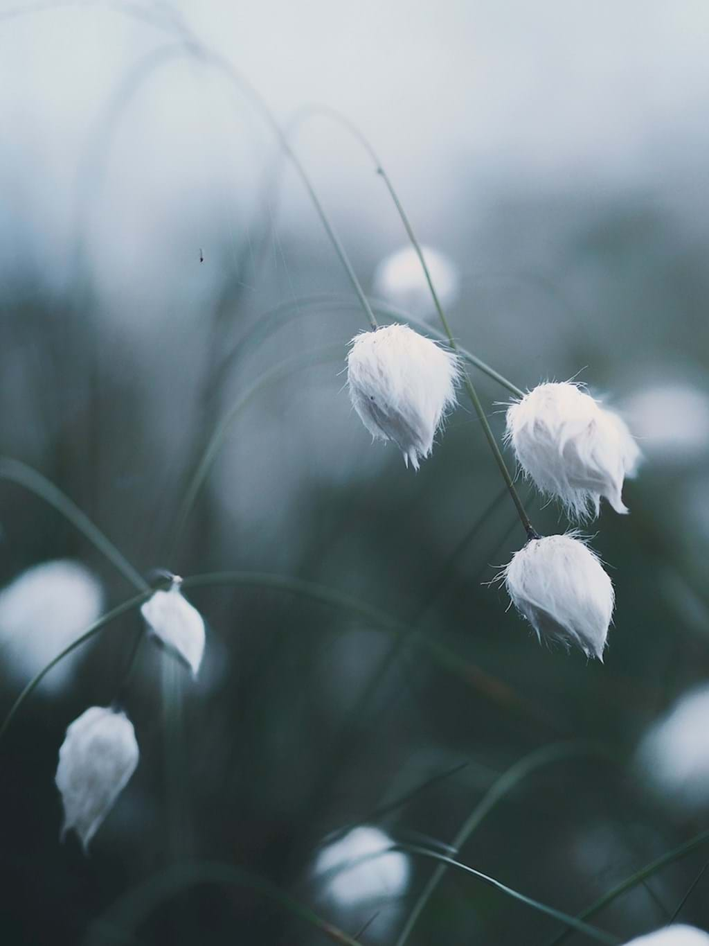 Poster: Solstice Cottongrass - A very beautiful photo of cottongrass with muted colours. Would fit great i...