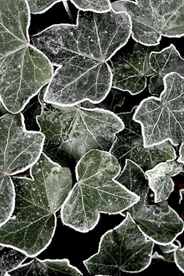 Ivy with lace