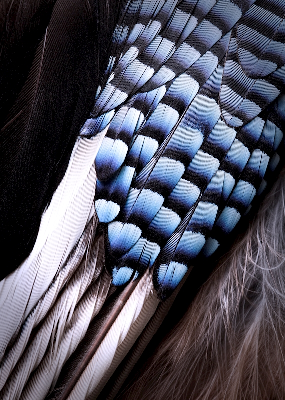 Bluefeathered