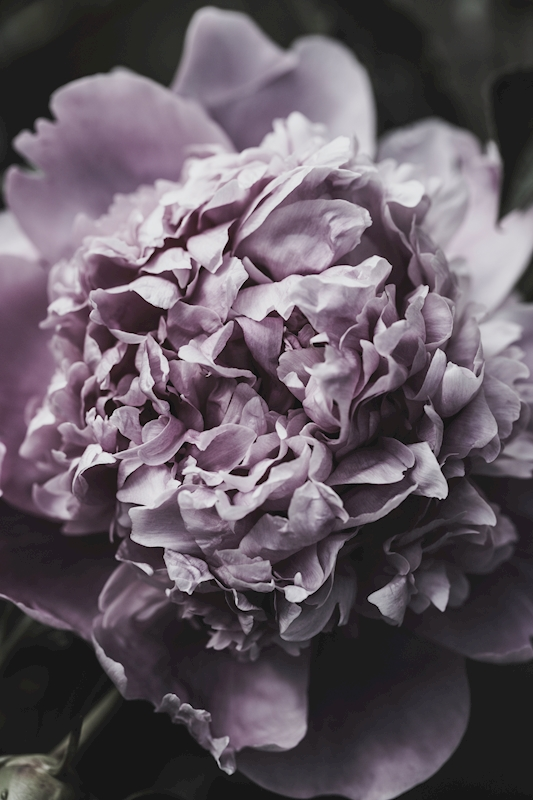 The Peony posters & prints by Lotta Francis