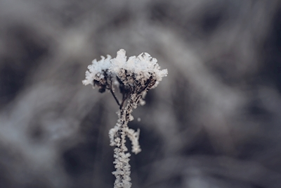 flower is covered by frost