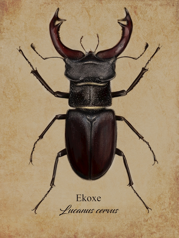 Stag beetle posters & prints by Tina Hugo