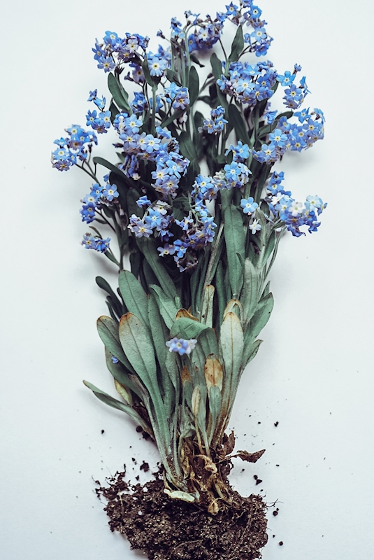 Forget-me-not posters & prints by Vanessa Tuulari