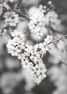 Blackthorn in white