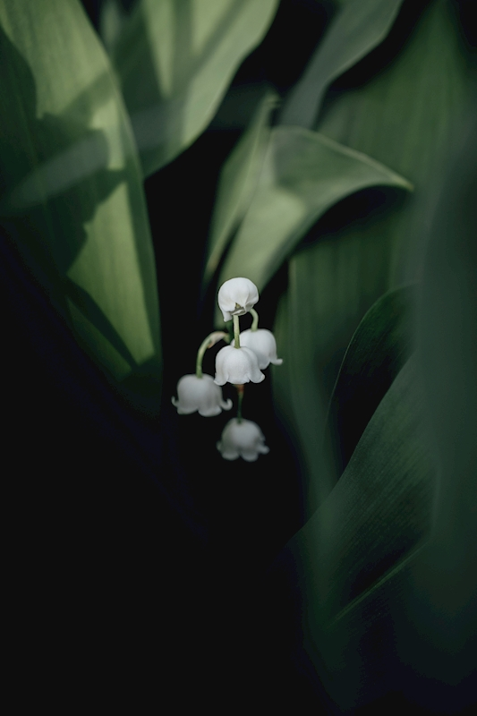 Lily of the Valley posters & prints by Rania Rönntoft