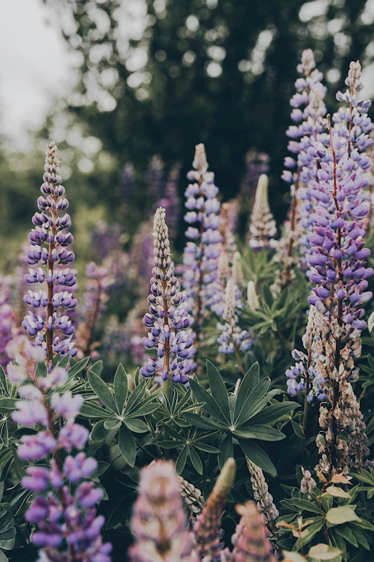 Lupines posters & prints by Vanessa Tuulari