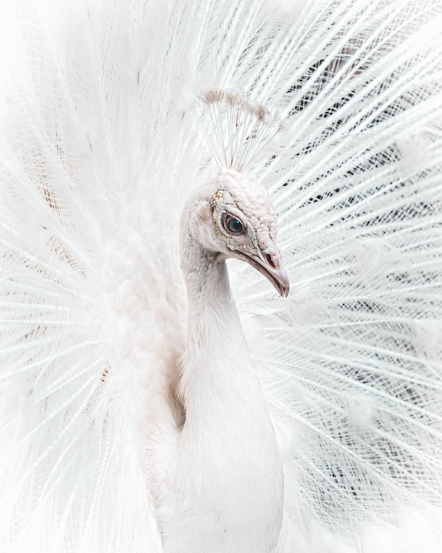 White peacock posters & prints by Helena Gylleby