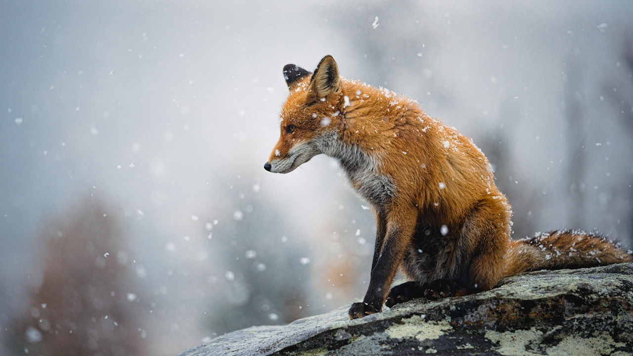 Fox first snow
