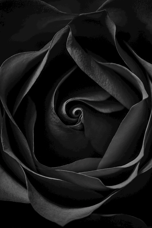 The black rose poster av JENNI TERVAHAUTA