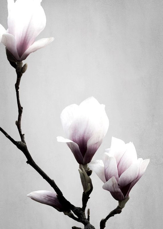 Magnolia posters & prints by Linda Ohlson