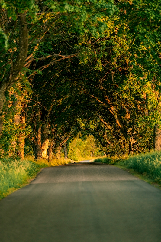 avenue of trees posters & prints by Sacharias Rundquist