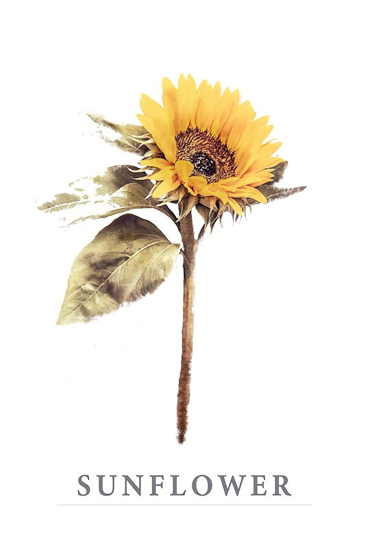 Sunflower posters & prints by Annica Mari