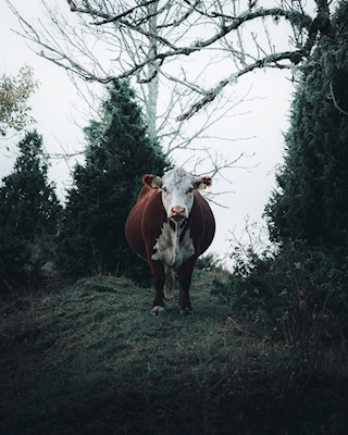Once I met a cow..