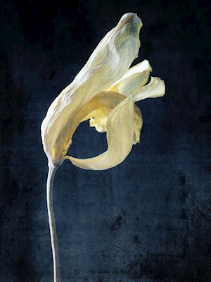 Withered yellow tulip