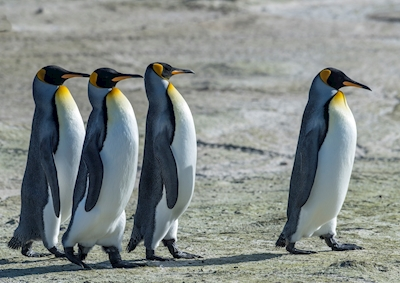 A group and a leader. Penguins