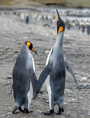 Hold my hand.Penguins in love.
