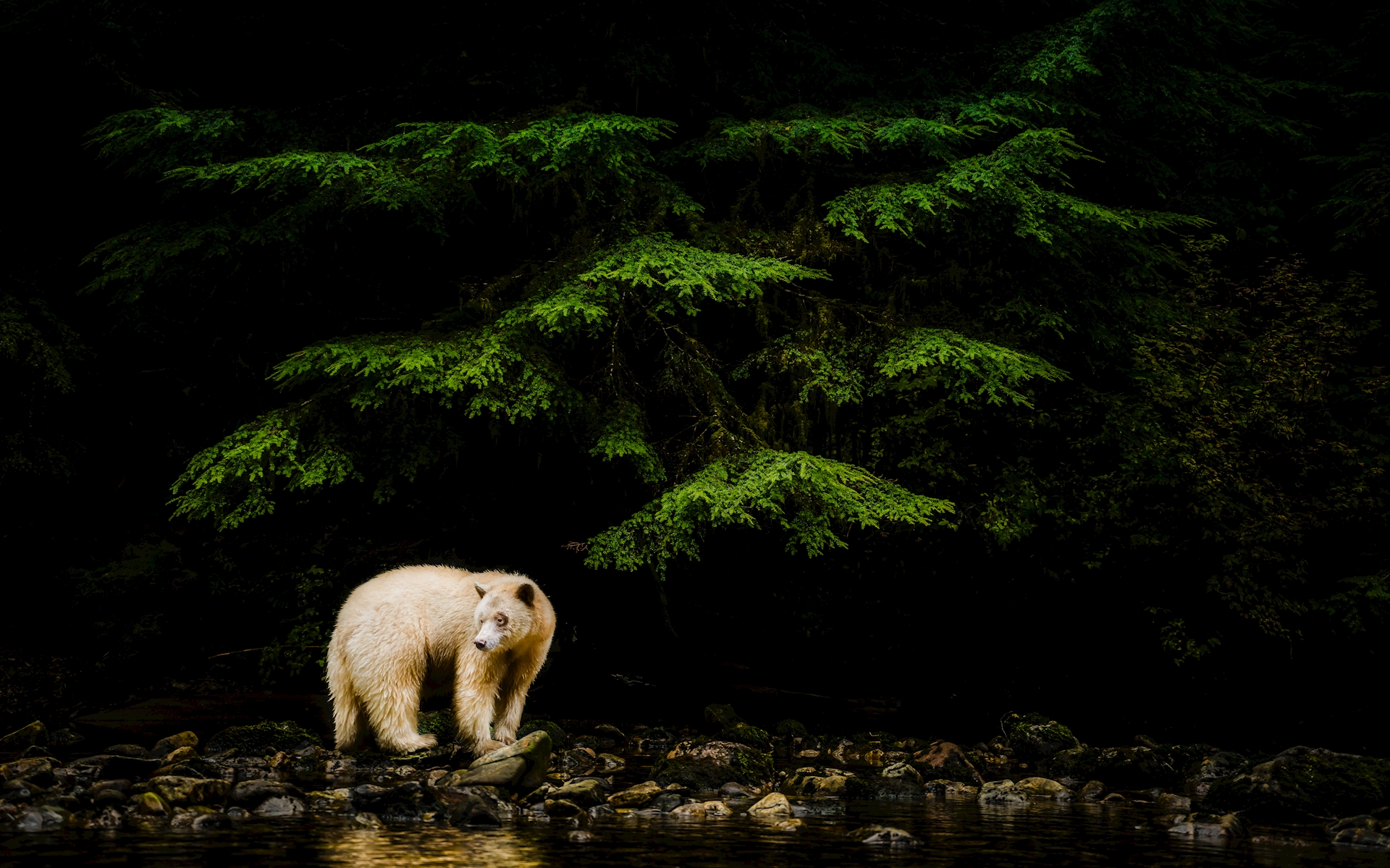Spirit Bear posters & prints by Peter Lindgren