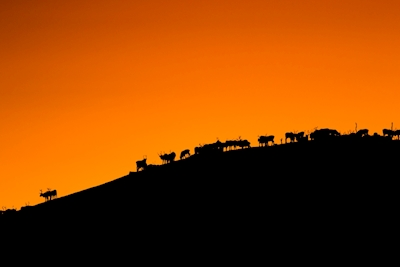 Reindeers on a hill