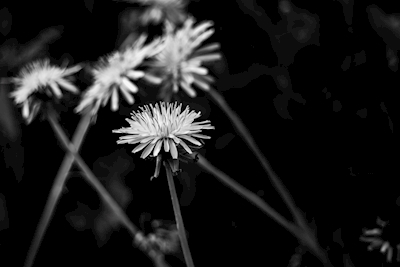 Dandelions in black and white
