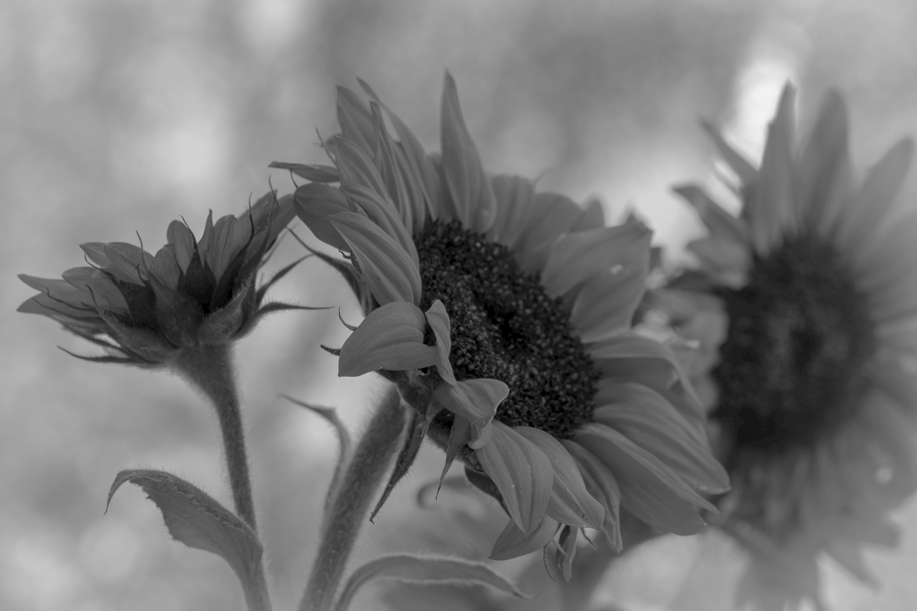 Sunflower black and white posters & prints by Veronica Forsberg